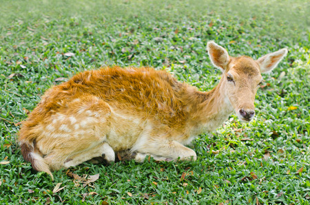 Fawn is lying on green grass photo