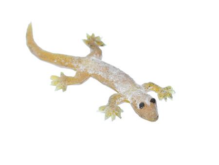 Fake House lizard on a white background