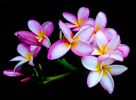 frangipani flowers on black -abstract background