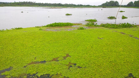 Water lettuec  Pistia stratiotes L   tree in swamp