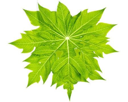 Papaya green leaf on a white background