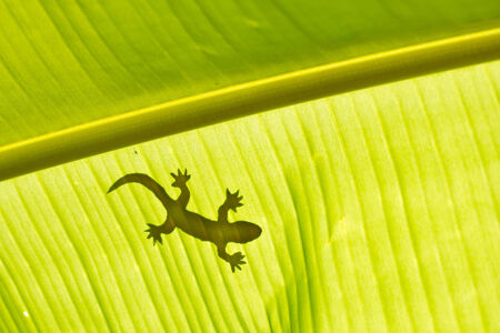 shadow of a gecko on a banana
