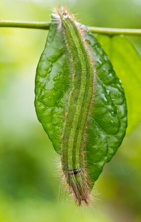 Close up of green caterpillar on green leaf