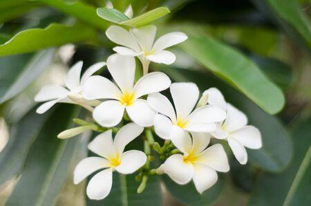 Frangipani flower or Leelawadee flower, Bangkok, Thailand