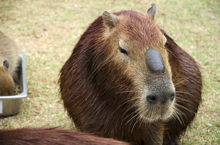 Capybara it's the largest rodent in the world. Its scientific name is Hydrochaeris hydrochaeris a member of the genus Hydrochoerus and has members who are in the same currency that remains is Hydrochoerus isthmius close relatives of Capital Bara are guinea pigs are native to South America and living in the valley. with dense forests and near water sources.