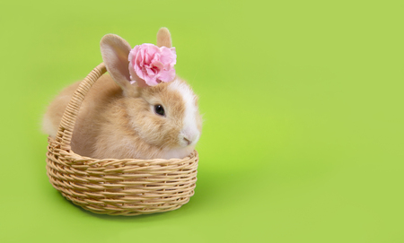 Flat lay ,Top view Cute brown rabbit bunny green background.