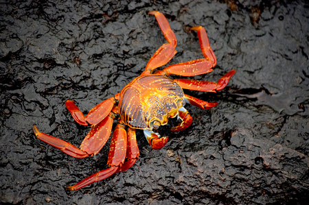 Sally Lightfoot Crab Resting on a Rock under the Sun