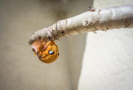 Horn caterpillar clinging to a branch in a garden.