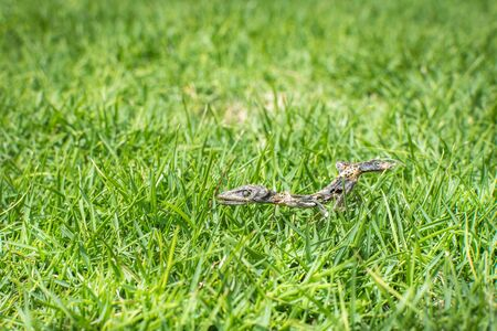 The dried skeletal remains of a brown anole lizard lying in green grass. Banco de Imagens