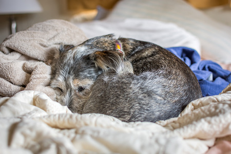 A small dog curled up into a ball, peacefully sleeping on a comfortable pile of blankets on the bed. Stock Photo