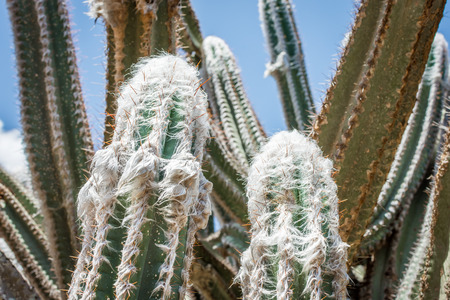 The white hair and orange spines of the woolly torch cactus, also known as the silver torch cactus, a perennial cactus native to South America.