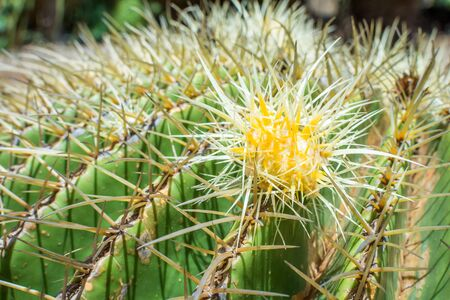 Close-up of the tiny yellow and white bud of a Golden Barrel Cactus, surrounded by sharp spines.
