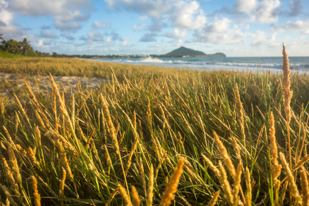 A large field of wild wheat glowing golden in the sunlight on Kailua Beach, Hawaii.