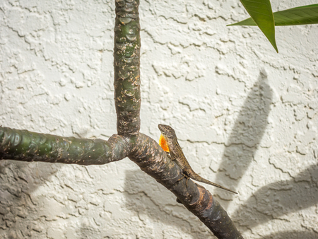 A brown male anole lizard extending his orange neck flap while perched on a Plumeria branch in a garden.