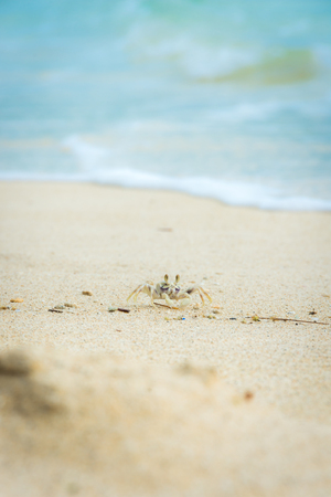 A tiny Ghost Crab scavenges for food or items in the white sand of Waimanalo Beach on the island of Oahu, Hawaii.