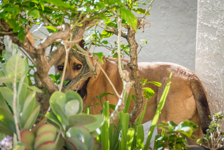 A dog doing a poor job of hiding behind a bush in a garden.