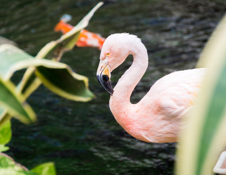 An angry-looking pink American flamingo partially hidden behind vegetation.