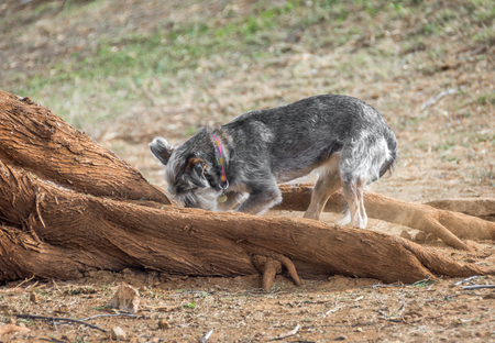 A small, gray dog digging a hole between large tree roots. Stok Fotoğraf