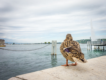 A female mallard duck standing on a ledge and gazing out at Lake Geneva on an overcast day.