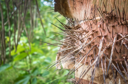 Close-up of the long, thin, sharps spines on the trunk of a peach palm tree. Stok Fotoğraf