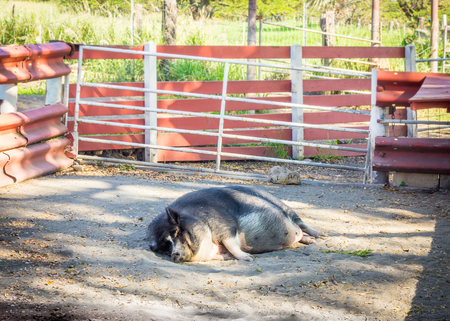 A fat, lazy pig sleeping in the afternoon sunshine.