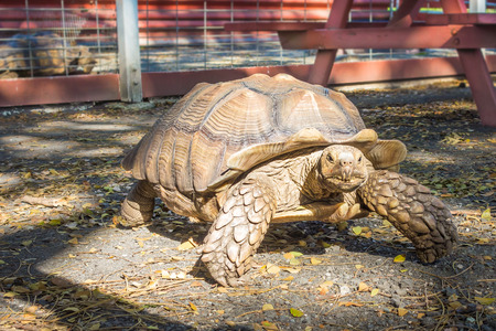 A large male African spurred tortoise slowly walking by as he stares at the camera.