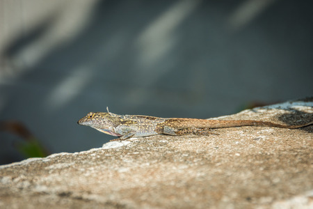 Close-up shot of a brown anole lizard shedding skin. Stok Fotoğraf