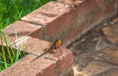 A brown male anole lizard extending his orange dewlap (neck flap) while perched on a brick ledge in a garden.