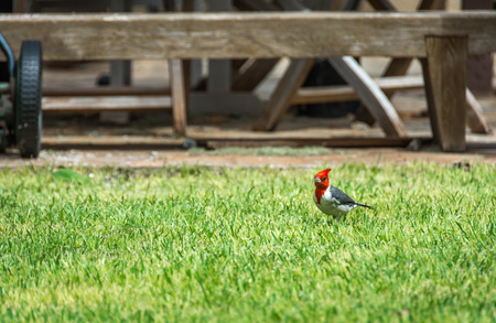 A red-crested cardinal standing in the short grass of a residential yard.
