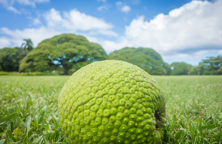 Freshly fallen breadfruit sitting in a grassy field with monkeypod trees in the background. Stok Fotoğraf