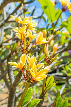 Beautiful yellow Plumeria flowers, also known as frangipani, growing in nature in Hawaii and soaking in sunlight on a bright summer day.