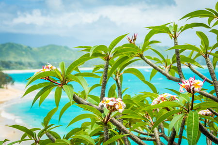 Beautiful pink, white, and yellow Plumeria flowers, also known as frangipani, growing in nature in Hawaii and soaking in sunlight on a bright summer day, with a gorgeous background of emerald green water and lush green mountains.