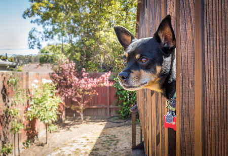 An adult Miniature Pinscher poking his head out from a wooden deck, staring off into the distance.
