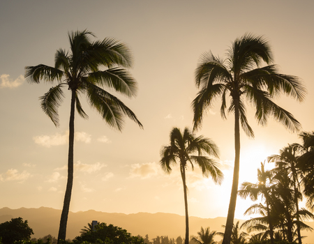 Hawaiian palm tree silhouettes swaying in the gentle breeze at sunset. Stok Fotoğraf