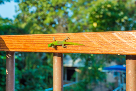 A vibrant green Hawaiian gold dust day gecko staring at the camera as he clings to a wooden railing on a bright sunny day.