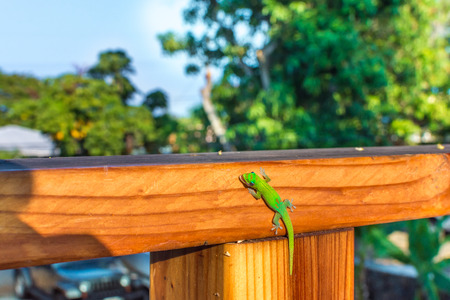 A vibrant green Hawaiian gold dust day gecko smiling as he licks his eye and clings to a wooden railing.