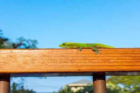 A vibrant green Hawaiian gold dust day gecko perched on a wooden railing, basking in the warm morning sun.