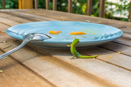 A vibrant green Hawaiian gold dust day gecko climbing onto a breakfast plate to eat the leftover mango.
