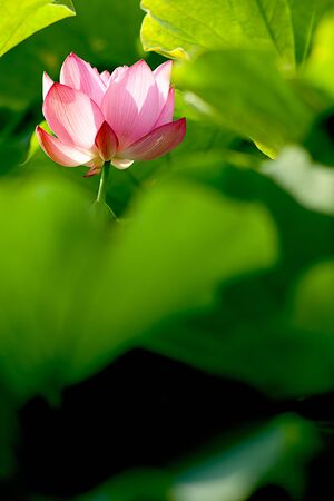 Pink Lotus with nice green background Stock Photo - 7101384