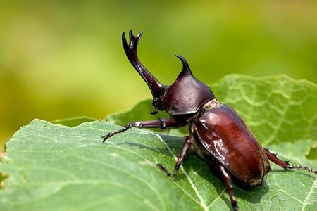 escarabajo: Beetle (Allomyrina dithotomus) de rinoceronte con agradable fondo verde