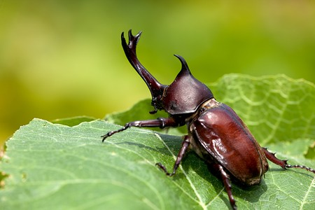Rhinoceros beetle (Allomyrina dithotomus) with nice background green  Stock Photo