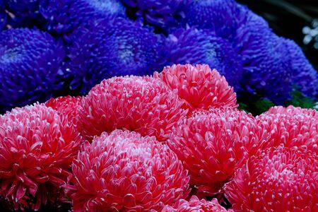 Colorful chrysathemum