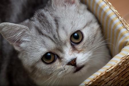 Scottish Fold cat looks at somewhere  photo