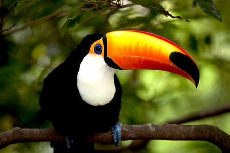 Toco Toucan in deep (Ramphastos toco) for background use  Stock Photo