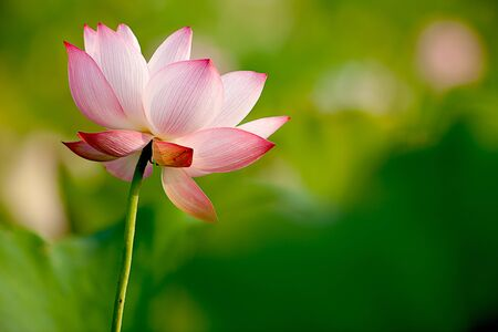 Beautiful Lotus for background use  Stock Photo - 8064481