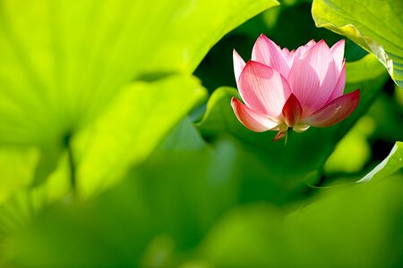 Beautiful Lotus for background use Stock Photo - 8064325