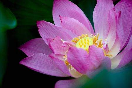 Beautiful Lotus for background use Stock Photo - 8065536