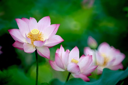 tender tenderness:  Beautiful Lotus for background use