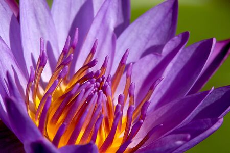 Beautiful Lotus for background use  Stock Photo - 8065488
