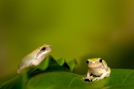 Baby Tree frog on the leaf (Hyla chinensis)  photo